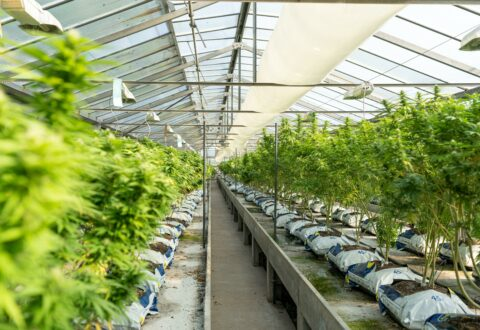 cannabis greenhouse fresh marijuana plants growing, cannabis broker, brokerage, marketplace